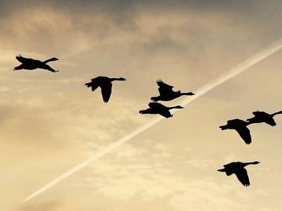 Découvrir la beauté des vols d'oiseaux