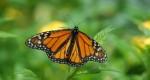 Conservation du papillon monarque